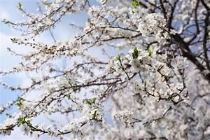 Rosa Blühender Baum Im Frühling : bl hender baum mit wei en bl ten im fr hjahr stock foto ~ Lizthompson.info Haus und Dekorationen