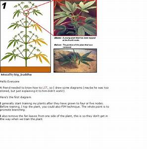 Guide To Topping  Training  U0026 Pruning Marijuana Plants