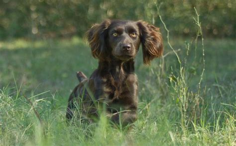 Do Boykin Spaniel Dogs Shed by 1000 Images About Boykin Spaniel On Poodles