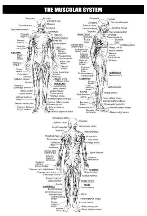 17 Best Images About Human Body On Pinterest  Muscle Tissue, Human Body And Physiology
