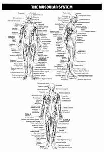17 Best Images About Human Body On Pinterest