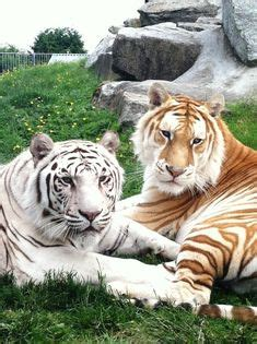 White Tiger Repinned All Creatures Gift Shop