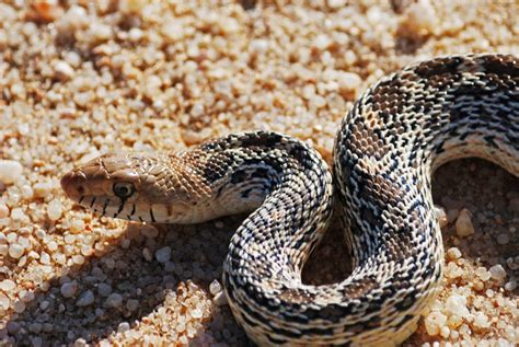 Truly Baffling Facts About Bullsnakes