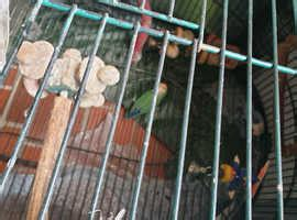 Cockatiels For Sale and Rehome in Doncaster | Find Birds ...