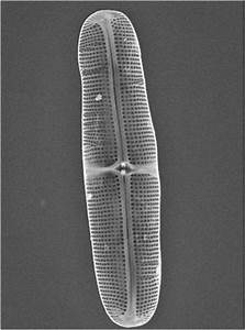 Ancient Diatoms Could Make Biofuels  Other Products