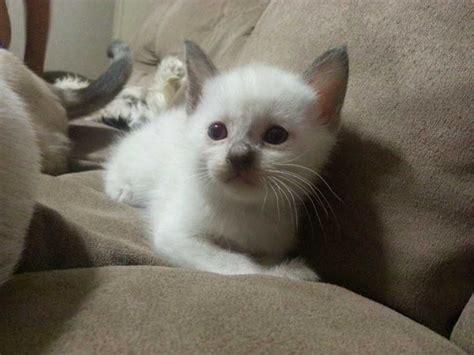 kittens siamese kitten louisville ky cute weneedfun choosing irkincat