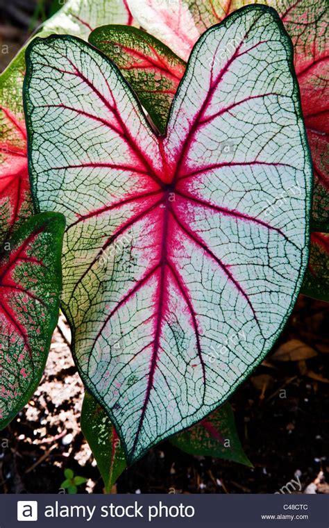 caladium knollen kaufen caladium bl 252 hende pflanze in der familie der aronstabgew 228 chse bekannt durch die gemeinsamen
