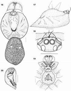 U2014conothele Vali New Species  Female  16  Cephalothorax And