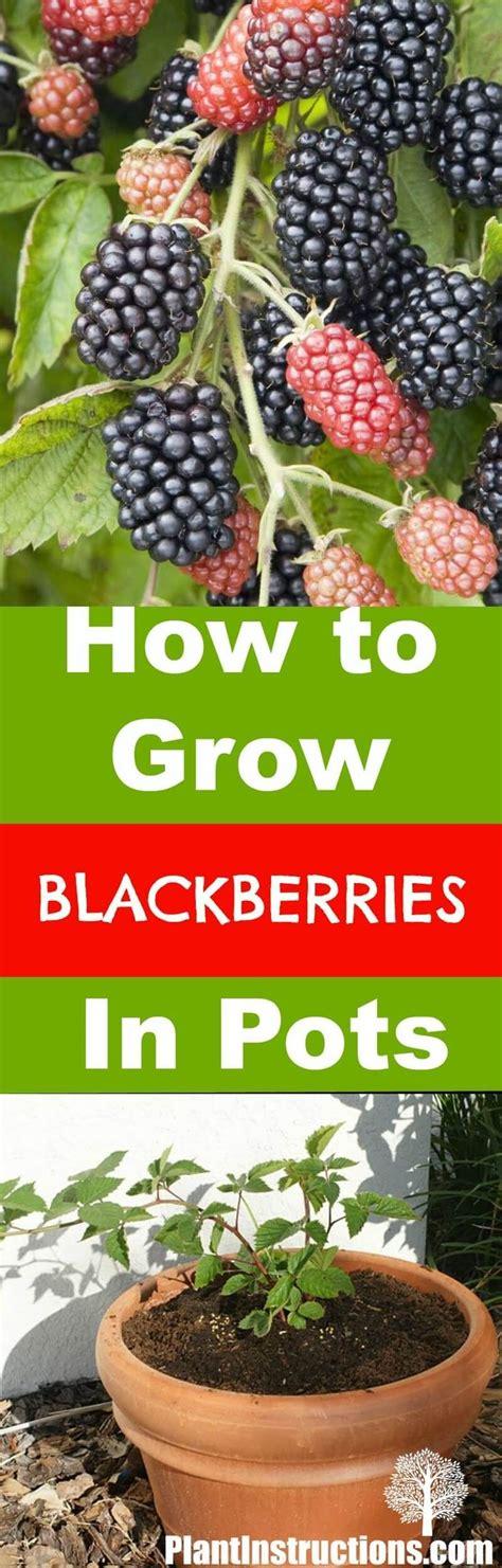 grow raspberries in a pot best 20 growing blackberries ideas on pinterest blackberry bush raspberry tree and raspberry