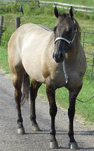Mare – Obviously a Dun | TL Quarter Horses | Horse ...