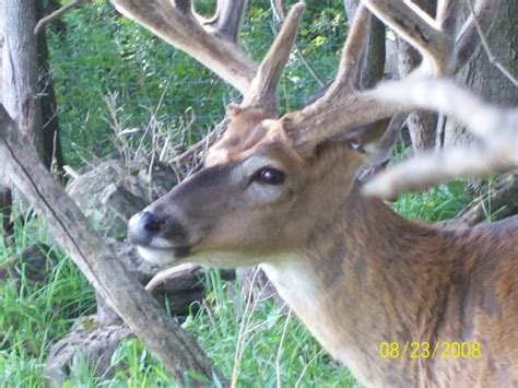 Whitetail Deer Shedding Velvet by Pin By Lisa Flaherty On Live Reference Whitetail Deer