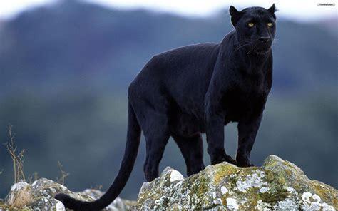 Black Jaguar Animal Wallpaper - black jaguar wallpapers wallpaper cave