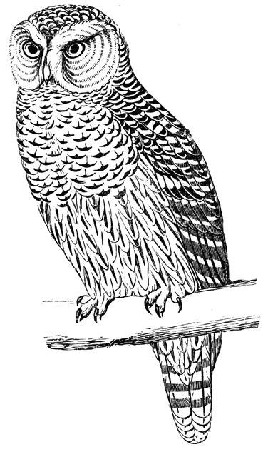 hawk owl clipart