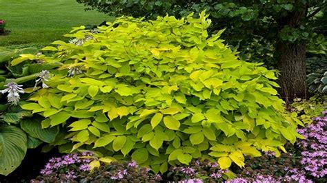 aralia sun king named  perennial plant   year