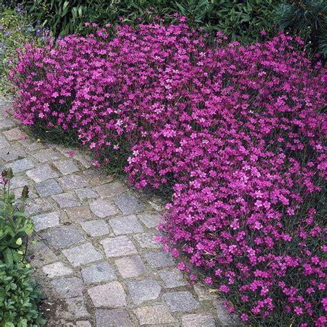 maiden pinks brilliancy dianthus dectoides perennial
