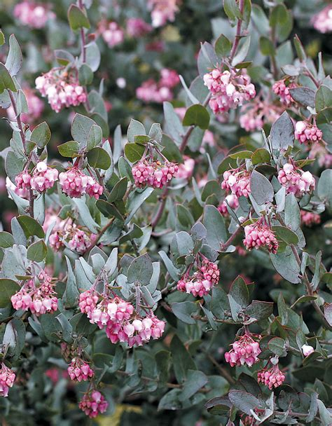 flowering shrubs pacific northwest pacific horticulture society arctostaphylos for pacific northwest gardens