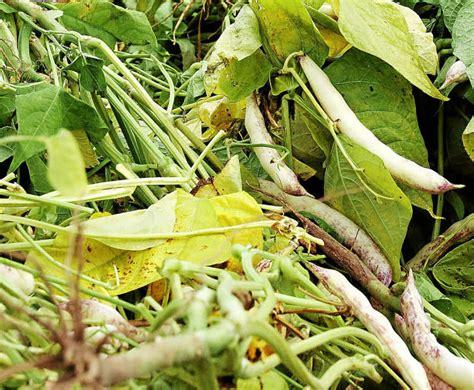 cuisiner les cocos de paimpol cocos de paimpol 2 000 saisonniers recherchés paimpol letelegramme fr