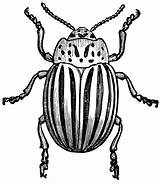 Clipart Bug Potato Bugs Drawing Insect Line Etc Getdrawings 20clip 20art Medium sketch template