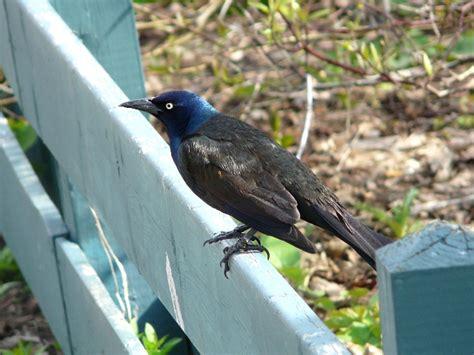 toronto wildlife blackbirds orioles