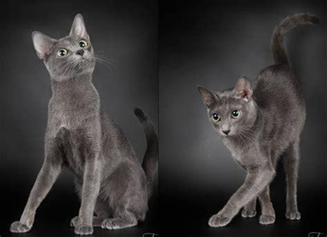 ข้อมูลการเลี้ยงดู แมวไทย 6 สายพันธุ์ ที่คนไทยนิยมเลี้ยง