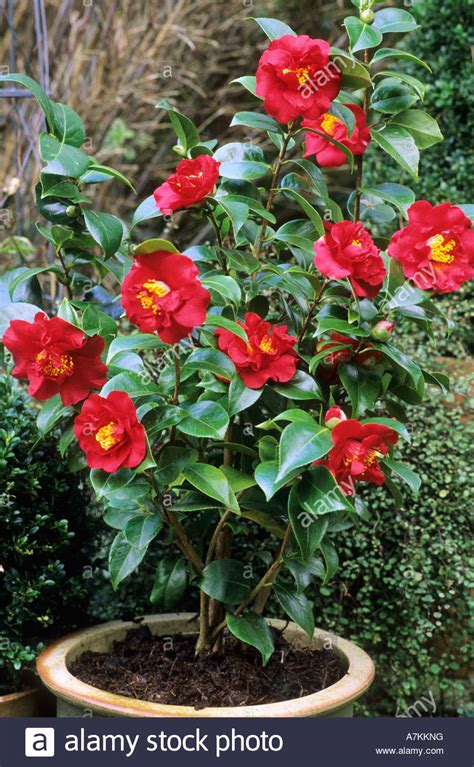 in plant camellia barbara in container flower garden plant stock