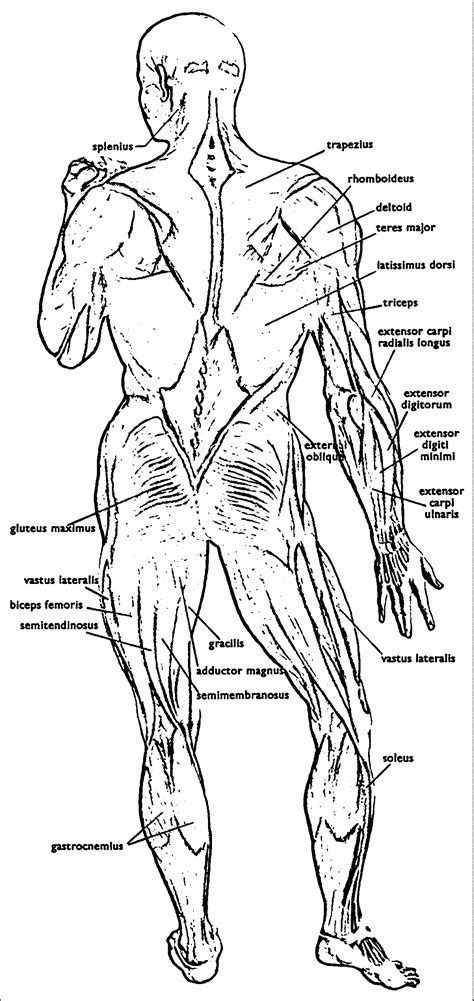anatomy  physiology  coloring pages coloring home