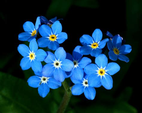 forget me nots flowers images forget me nots hd wallpaper and background photos 25785400