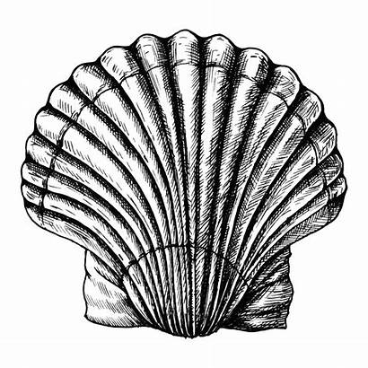 Scallop Drawn Hand Drawing Clams Shell Saltwater