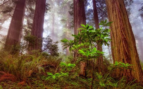 redwood sequoia tree forest hd wallpaper