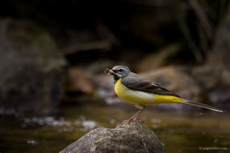Great White Shark Wallpaper Grey Wagtail