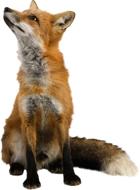Fox PNG images, free download pictures