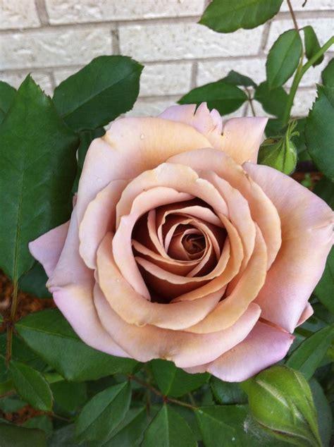 coco loco rose tan pink   lavender amazing