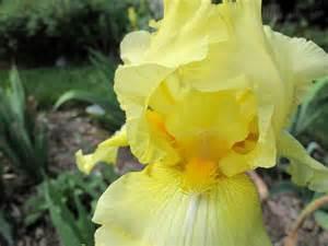 reblooming iris pbmgarden