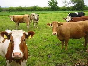 Music N' More: I Love Cows!!!!