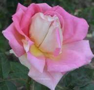 Alte Rosensorten Stark Duftend : rosensorten duftrosen jul jules margottin jules ~ Michelbontemps.com Haus und Dekorationen