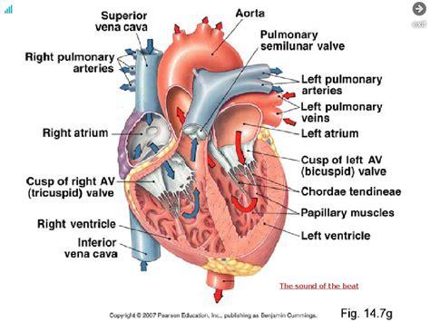 inside the heart diagram anatomy organ