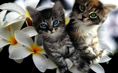 kittens plumeria  desktop background widescreen
