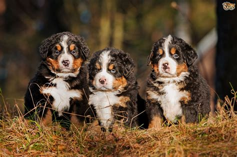 health issues more commonly seen in the bernese mountain dog pets4homes