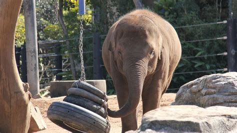 Rugby players union hit out at boris johnson over his handling of the pandemic. Taronga Zoo Sydney: Asian elephant Tukta dead, 8 | News Local