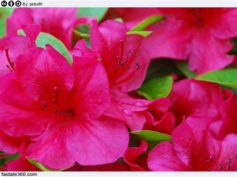 cura azalea in vaso azalea cura e coltivazione