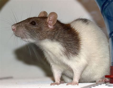 rats as pets rats as pets looking past stereotypes and misconceptions
