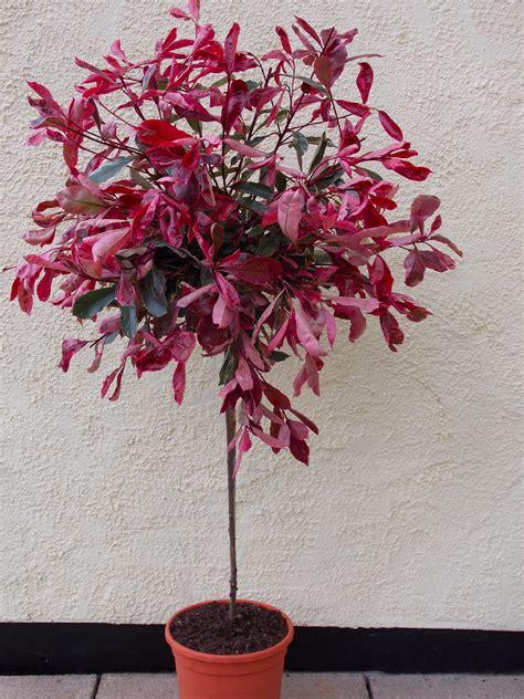 Pair Of Hardy Evergreen Photinia Pink Marble Standard