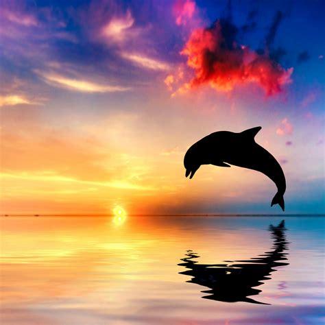 wallpaper dolphin sunset beautiful ocean  animals