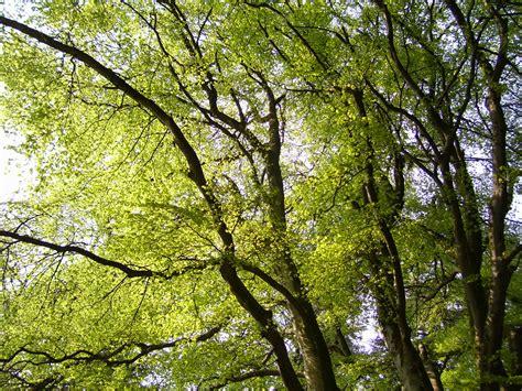 larkin gold the tuesday tree beech woods in springtime beastie