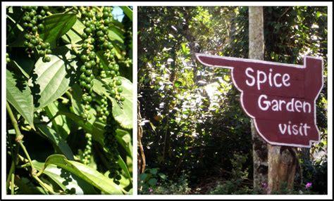 spice garden  munnar  peppercorn plant