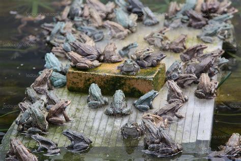 elevage de grenouille en aquarium monde un poissonnier a invent 233 la grenouille made in