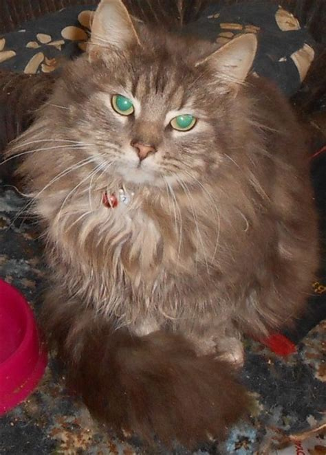 rescue maine coon x kitten for adoption rotherham