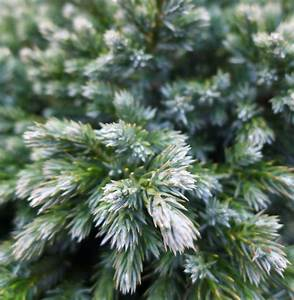Conifers in Shades of Gold and Silver Brighten a Winter ...
