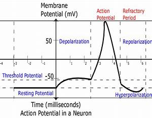 The Waveform Of An Action Potential  The Neuron Has A