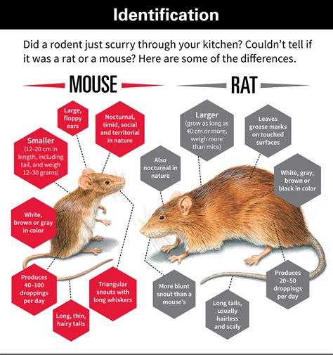 mice vs rats differences between rats and mice